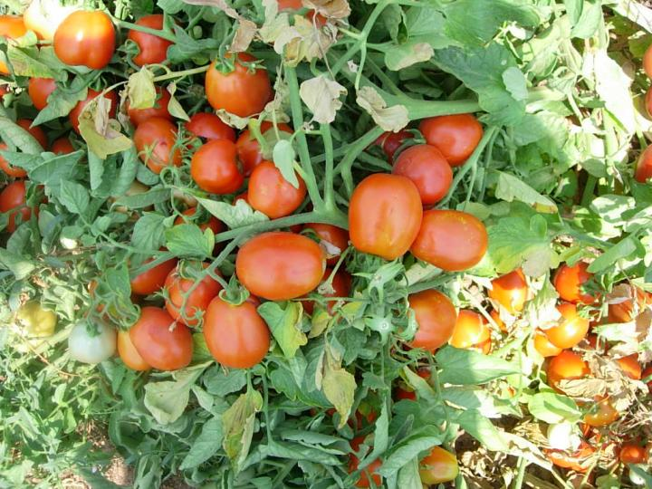 Scientists looked to wild tomato varieties such as Solanum peruvianum to inform breeding practices that increase valuable antioxidants. Credit: Photo courtesy of Sami Do?anlar.