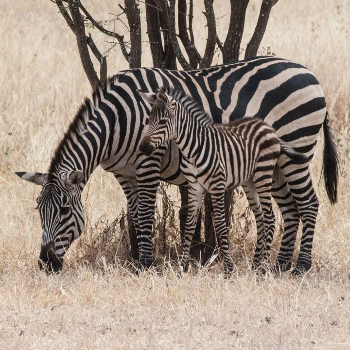 This is amother zebra with afoal in Tanzania's Tarangire National Park. Credit: Brenda Larison/UCLA