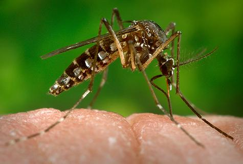 A virus spread by the Aedes aegypti mosquito can cause symptoms very similar to rheumatoid arthritis, researchers at Washington University School of Medicine in St. Louis have shown. Credit: James Gathany/CDC