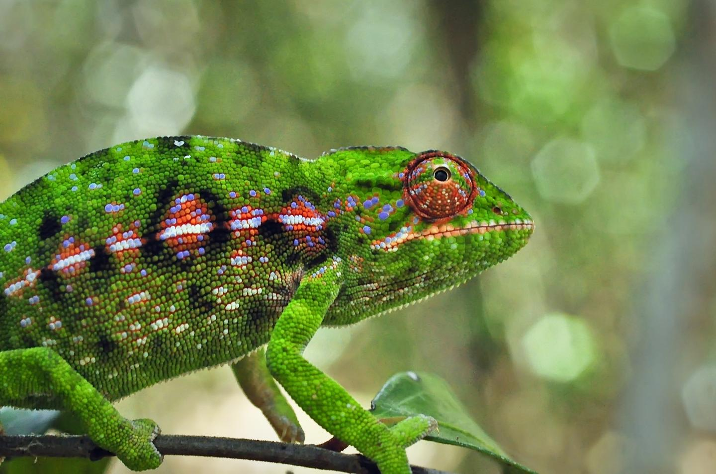 Over 90 percent of the more than 700 species of reptiles and amphibians that live in Madagascar -- like the jeweled chameleon (Furcifer campani) shown here -- occur nowhere else on Earth. A study of how Madagascar's unique biodiversity responded to environmental fluctuations in the past suggests that the climate change and deforestation that the island is experiencing today will have varying effects on different species. Credit: Jason L. Brown, City College of New York