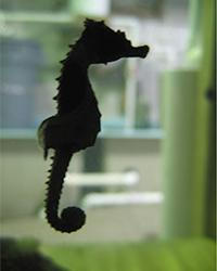This is a lined seahorse (Hippocampus erectus). Credit: Courtesy of The City College of New York