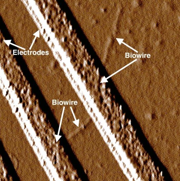 """Vědci geneticky upravili bakterii, která se běžně nachází vpůdě, avytvořili pomocí ní funkční elektrickou síť. Jedná se současně onejtenčí """"drátky"""" na světě. Tzv. nanodrátky by mohly mít využití vminiaturních přístrojích aalternativních palivech. Credit: Photo courtesy of Dr. Derek Lovley"""