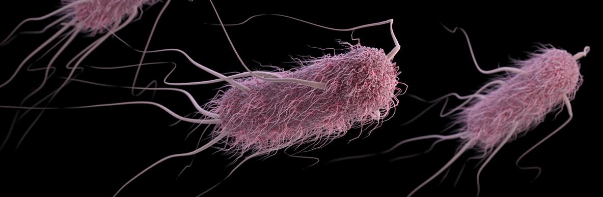 Bakterie E. coli. Kredit: CDC.