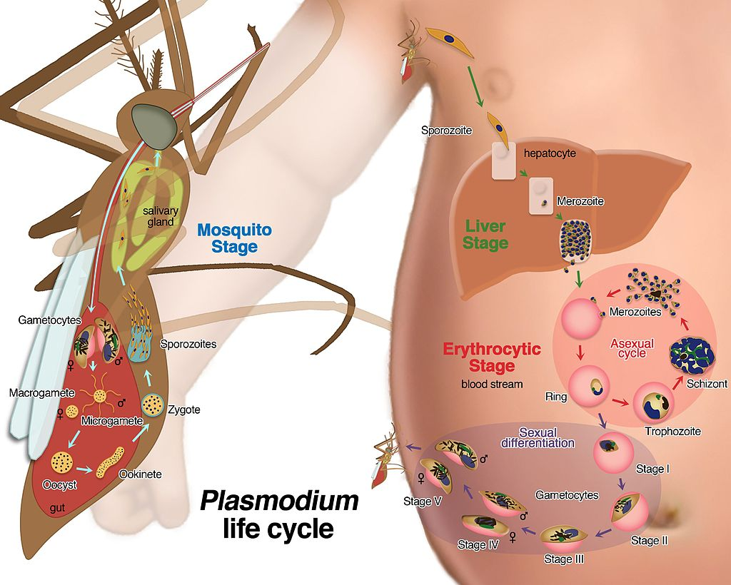 Obr 1. Životní cyklus prvoka Plasmodium (Credit: Le Roch Lab, UC Riverside)