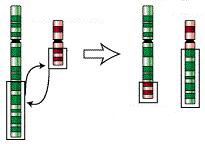 Mutation translocation. Credit: Wikimedia Commons
