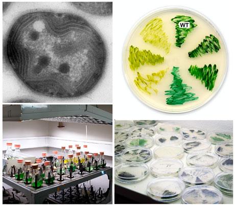 Modelová sinice Synechocystis PCC 6803 na snímku velektronovém mikroskopu (vlevo nahoře), různé mutantní kmeny této sinice na agarovém médiu (vpravo nahoře, standardní kmen je označen WT), kultivace Synechocystis vtekutém médiu ana agarových plotnách. Kredit: JOSEF KOMENDA aROMAN SOBOTKA