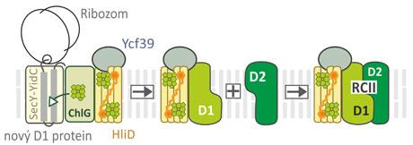 Model syntézy reakčního centra PSII, který se skládá zchlorofyl vázajících proteinů D1 aD2. Chlorofyly jsou postupně zabudovávány do proteinu D1 již vprůběhu jeho syntézy ribozomem na translokáze (SecY-YidC). ChlG označuje enzym chlorofylsyntázu. Excitace chlorofylů je zhášená proteiny HliD, které obsahují karotenoidy. Nasyntetizovaný protein D1 je poté stále vkontaktu sHliD, ato iv dalším kroku, po připojení podjednotky D2, čímž zůstává chráněno také vzniklé reakční centrum PSII (RCII*). Pro zjednodušení nejsou vobrázku znázorněny ani doprovodné malé bílkovinné podjednotky, ani molekuly chlorofylu adalších kofaktorů vázané vpodjednotkách D1 aD2. Kredit: JOSEF KOMENDA aROMAN SOBOTKA
