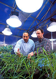 Plant physiologist Leon Kochian (left) and molecular biologist David Garvin examine wheat plants of various genotypes being studied for aluminum tolerance. (K8781-4)