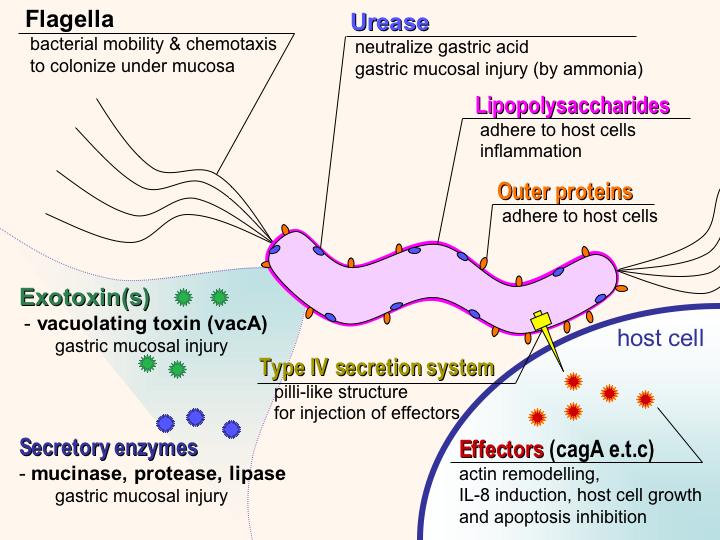 Schematic diagram of virulence factors of Helicobacter pylori