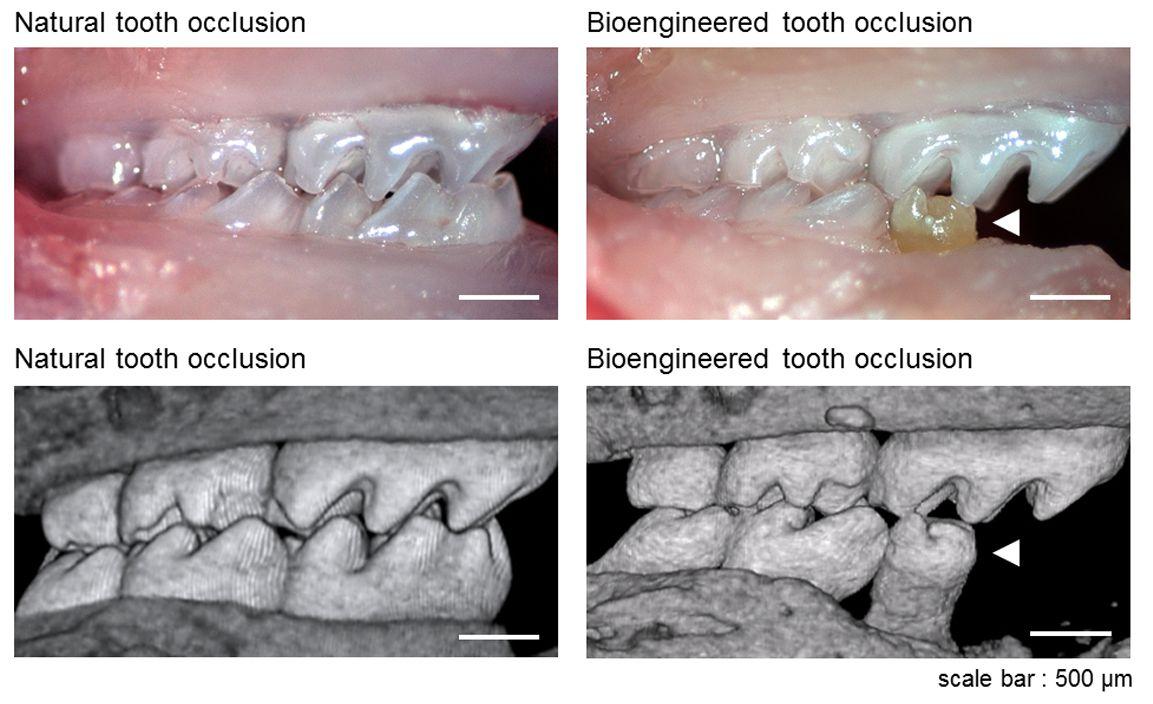 Vypěstované zuby vpravo. Kredit: Oshima et al. 2011.