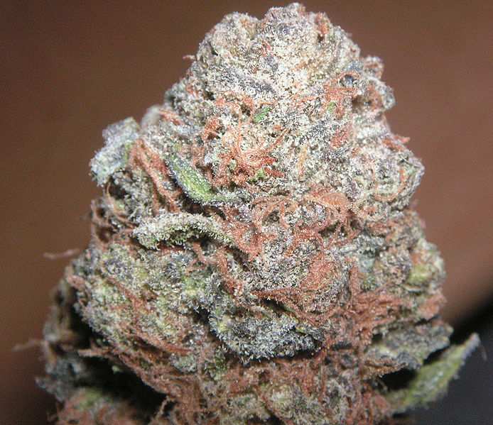 Purple Kush. Kredit: Coaster420, Wikimedia Commons