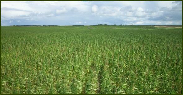 Konopné pole vKanadě. Kredit: Cannabis.