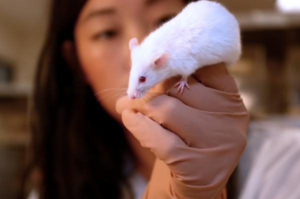 laboratorní myš